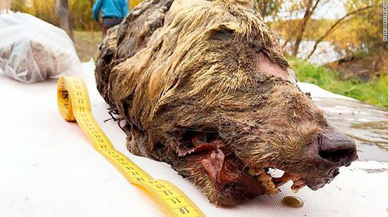 """西伯利亚发现4万年前""""野狼断头"""" 牙齿与皮毛保存完好"""