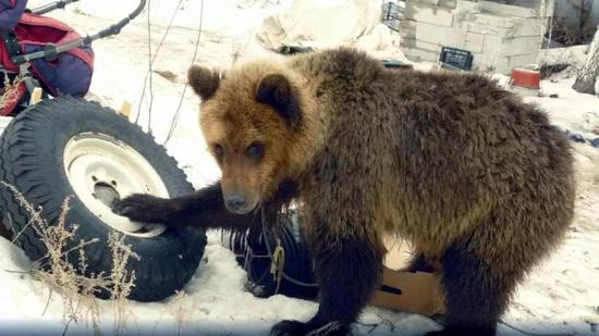 棕熊沃纯(图源:太阳报)