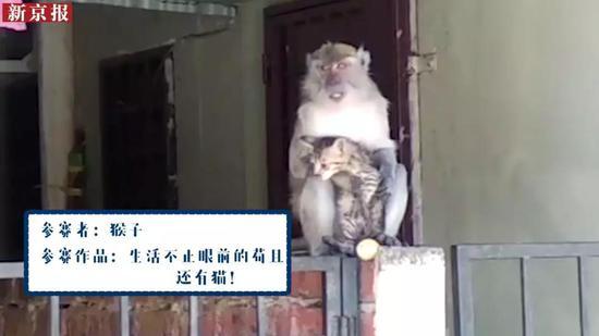 ▲参赛者:猴子
