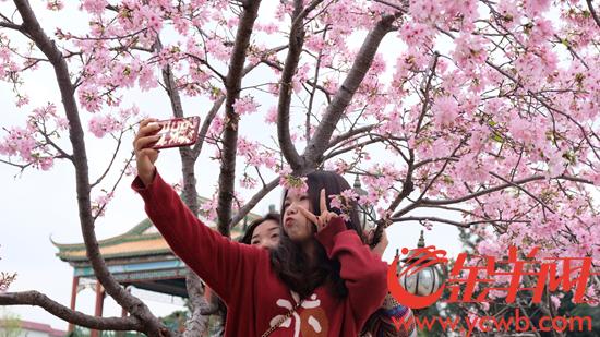 宝墨园3月初的广州樱 金羊网记者 甘韵仪 摄