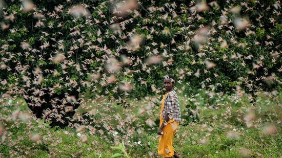 被蝗群裹挾的肯尼亞農夫 |?www.apimages.com