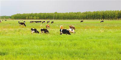 暗龙江省拜泉县,三北防护林守护着牧场,使这边免受风沙腐蚀。原料图片