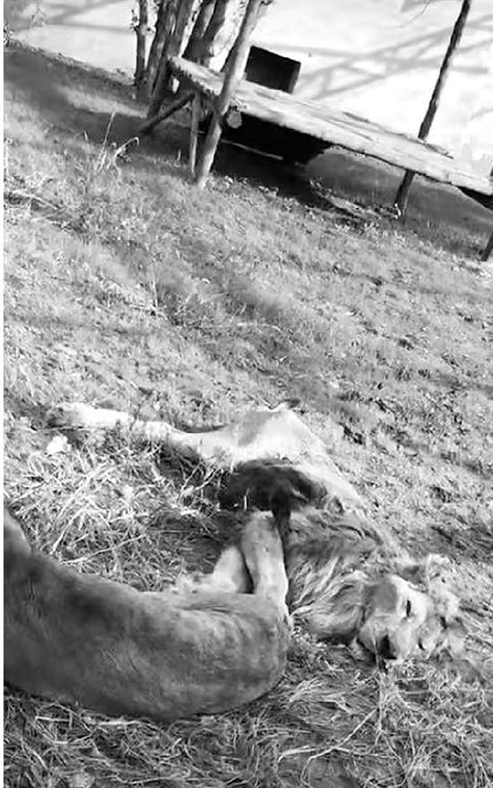 网友拍摄的辽宁一动物园中暴瘦的狮子。