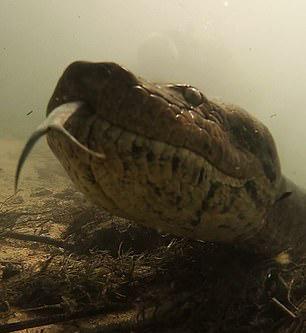 巴西潜水者水下与7米长蟒蛇面对面 系现存最大蛇