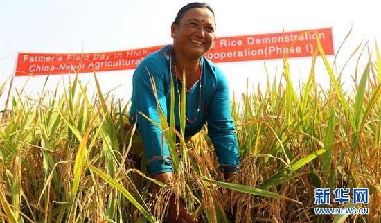 2017年10月23日,在尼泊尔巴克塔普尔,当地农民碧玛拉站在杂交水稻试验田里。从2016年2月开始,中国援尼农业技术合作项目组的专家们在尼泊尔加德满都、奇特旺等多个地区挑选了数个水稻和玉米试种点。一年多的试验显示,中国杂交水稻和玉米表现优异。 新华社发(苏尼尔·夏尔马摄)