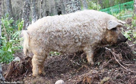 白毛猪儿家家有,长羊毛的猪望过没?猪年临近,带你见识一下。