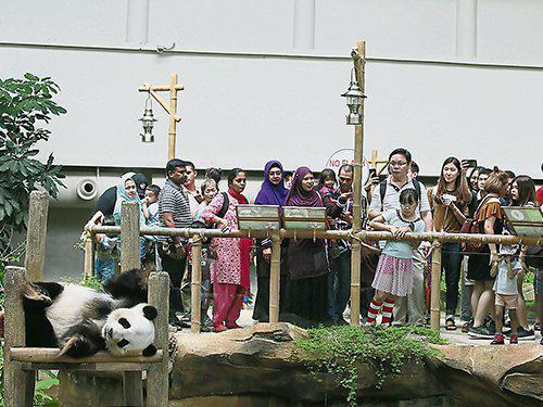 马来西亚民多参不悦目熊猫 图片来自《中国报》