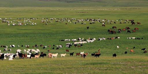 蒙古国计划9月向中方分批移交30000只捐赠羊