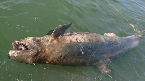 伪虎鲸搁浅死于台湾嘉义沿海 或因海洋污染(图)