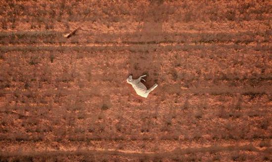 ▲2019年是澳大利亞史上最熱的一年。新南威爾士州的Parkes,一頭羊死在干旱的玉米地上圖/Dean Lewis/EPA