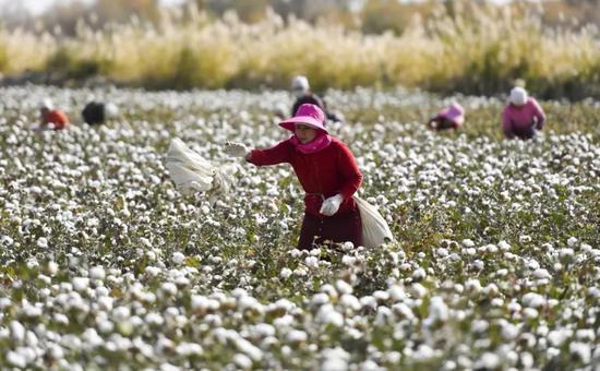 新疆阿瓦提县丰收三场,棉农正在棉田中采摘棉花。中新社记者 刘新 摄