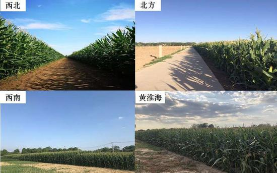 差别区域间,生物量的迥异照样是导致玉米产量迥异的主要因为。中国农科院供图