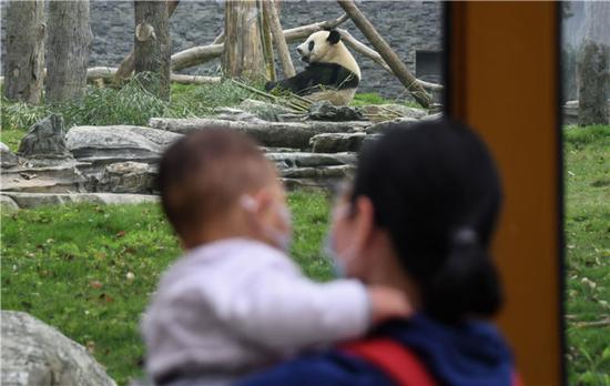 4月22日,大熊猫迎来参观的游客。当日,在严格落实疫情防控措施的前提下,武汉动物园有序恢复开放。新华社记者 程敏 摄