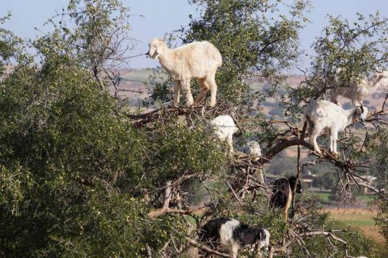 摩洛哥的羊和人相通为阿甘油的生产作出贡献。(视觉中国)