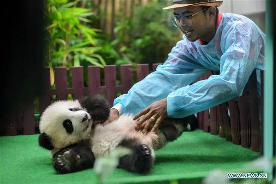 """▲""""兴兴""""和""""靓靓""""的第二只熊猫宝宝首次亮相。"""