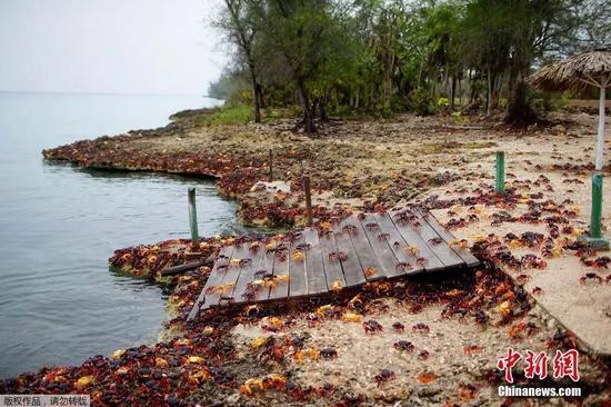 资料图:大批螃蟹聚集古巴吉隆滩,集体产卵。