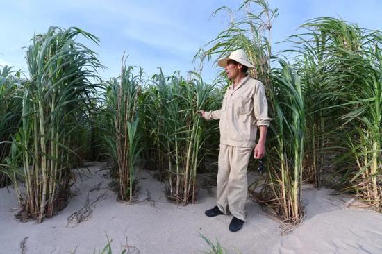 2019年7月25日,一位工作人员在福建省平潭综合实验区一处沙滩的菌草林中介绍用菌草技术治理风沙的情况。新华社记者林善传摄
