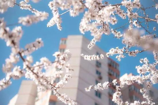 中国人民大学 校园花朵初放 宋欣然/摄