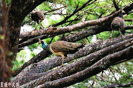 印度孔雀在日本宫古岛繁殖 当地人将其送上餐桌