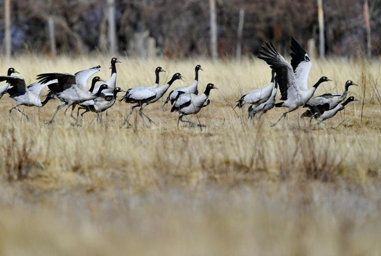 2021年2月1日,黑颈鹤从林芝市米林县雅鲁藏布江畔的农田里起飞。新华社记者 张汝锋 摄