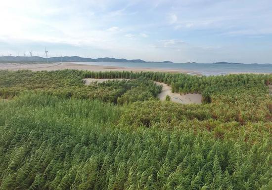 这是福建省平潭综合实验区一处沙滩上栽种的用于防风固沙的菌草(2019年7月25日无人机拍摄)。新华社记者林善传摄