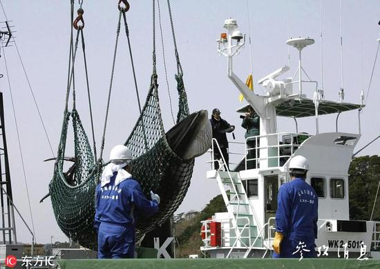 2008年日本宫城县,当地渔民将幼须鲸捕捞上岸,图片来源:东方IC。