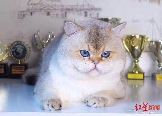 英國短毛貓70萬天價賣出 一只貓的價格比房子還要貴嗎?