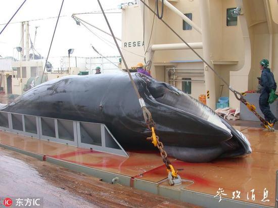 """2001年至2012年日本在南极海域""""科研捕鲸""""活动中捕获的幼须鲸,图片来源:东方IC。"""