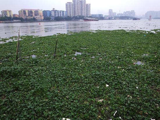 2013年5月8日,广州市金沙洲大桥两侧的珠江河道,大量入侵植物水浮莲覆盖在江面上顺水而下。图/视觉中国