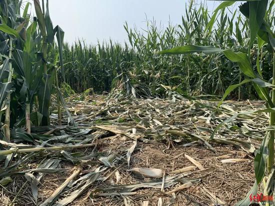 捕获幼虎的玉米地