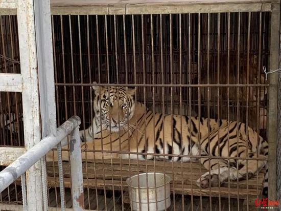 一马戏团内被关起来的老虎