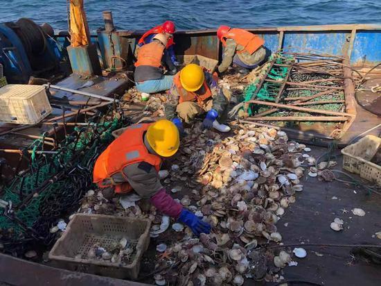 11月16日,獐子岛公司职工正在船上现场分拣捞上来的扇贝。