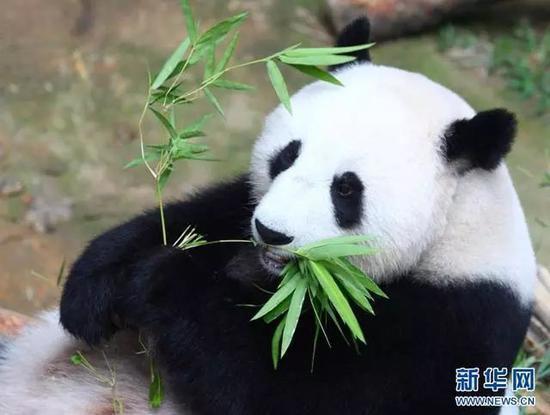 """▲马来西亚吉隆坡,大熊猫""""靓靓""""正在吃竹子。"""