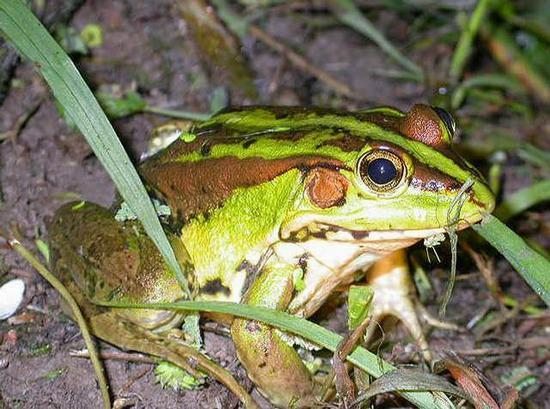 金线蛙。资料图