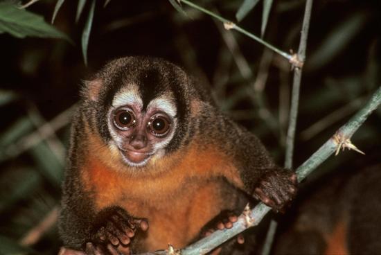 南美洲玻利维亚候_春晚无大圣,看看吉尼斯纪录的猴子吧_新闻中心_新浪网