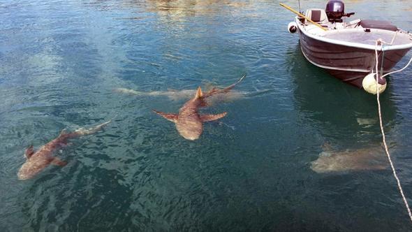 澳夫妇海上钓鱼遭两面夹击 鲨鱼和鳄鱼同现