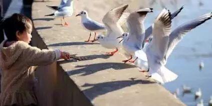 昆明海鸥_男子昆明抓海鸥拍照被罚625元(图) 罚款 海鸥 海埂大坝_新浪新闻