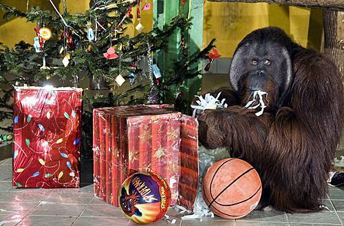 在匈牙利东北部尼赖吉哈佐市的动物园,一只16岁的猩猩坐在本身的圣诞礼物左右。(新华社/匈通社)