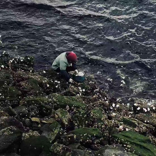 11月14日,獐子岛当地居民正在海边打生蚝。