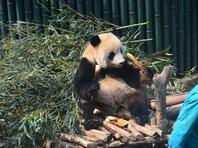 """北京:大熊猫?#30333;?#21491;开弓""""吃竹笋"""