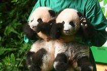 大熊猫双胞胎幼仔