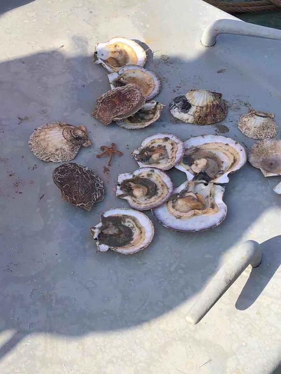11月16日,从獐子岛一抽测点捕捞上来的扇贝,多数已失去活力。