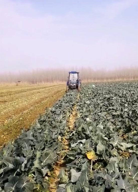 陈柏林用机器把西兰花菜地重新翻锄。 受访者供图