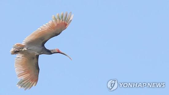 图为韩国22日放归的朱鹮(韩联社)