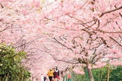2月16日,游客在重庆市北碚区澄江镇五一村欣赏盛开的樱花。 秦廷富摄(新华社发)
