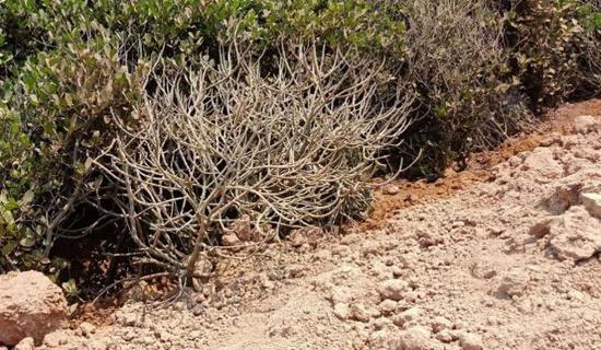枯死的红树林 图片来源:南国都市报