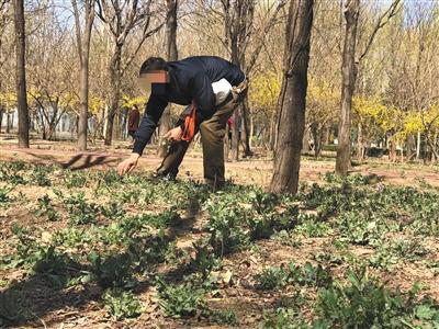 东坝郊野公园内,二月兰刚冒头就被采摘。新京报记者 陈琳 摄