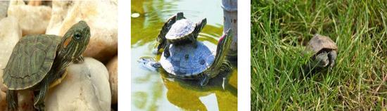 巴西龟。图片来源:中国外来入侵物种名单(第三批、第四批)