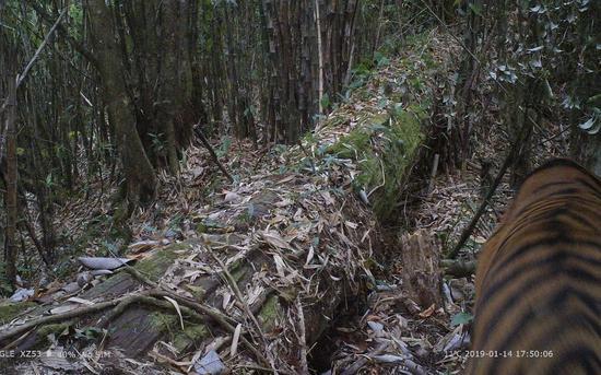 红外相机拍摄到的孟加拉虎。中国科学院昆明动物研究所供图
