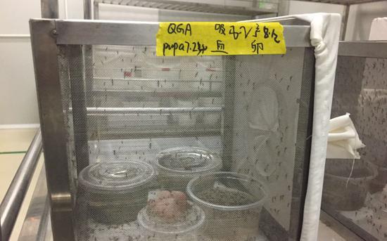 8月13日,蚊子工厂保种间内的蚊子。 新京报记者 韩沁珂 摄